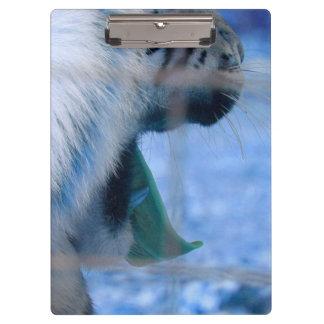 white tiger yawn blue side large cat animal image clipboard