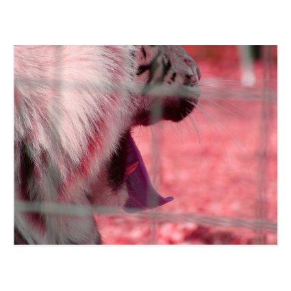 white tiger yawn pink side animal image post card