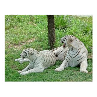 White Tigers Postcard