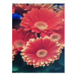White Tipped Flower Postcards