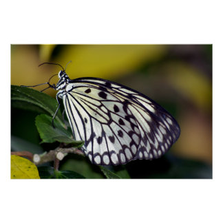 White Tree Nymph Butterfly  Poster