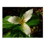 White Trillium Flower Spring Wildflower Postcard