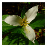 White Trillium Flower Spring Wildflower Poster