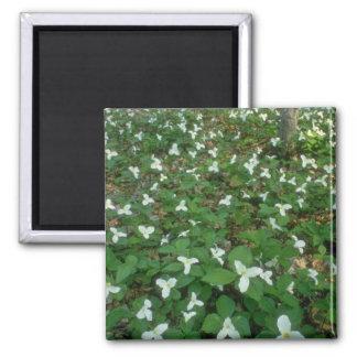 white Trilliums in Gatineau Park Quebec Canada f Refrigerator Magnet