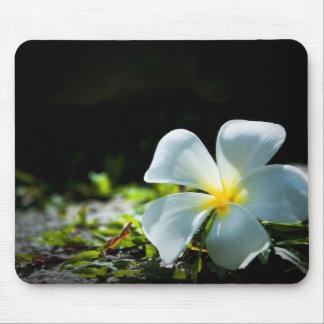 White tropical flower (frangipani) close up mouse pad