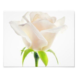 White Tulip Flower Clear Background Floral Photo Print