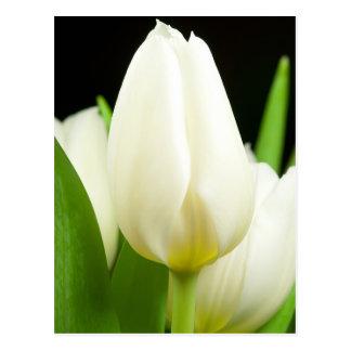 White Tulip Postcard