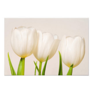 White tulips against a white background, photographic print