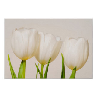 White tulips against a white background, poster