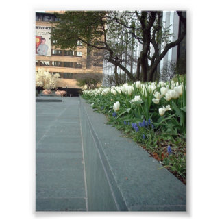 White Tulips at Springtime in Downtown Buffalo Photo Print