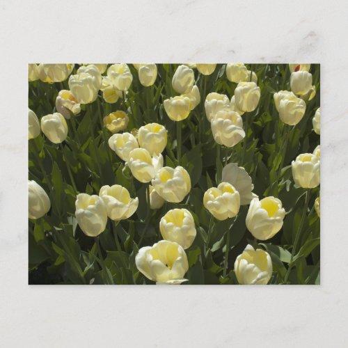 White Tulips in the Boston Gardens Postcard