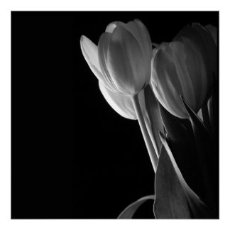 White Tulips Photo On Black Background Poster