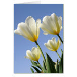 White Tulips Reach for the Sun Cards