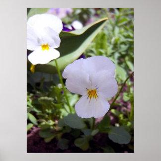 White Viola 1 Poster