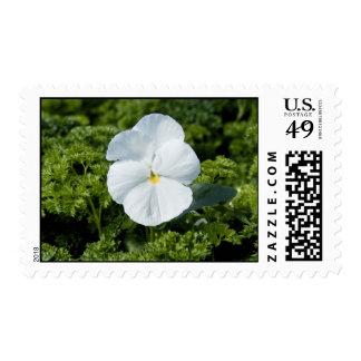 White Viola Postage Stamp