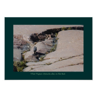 White Wagtail 02 Posters