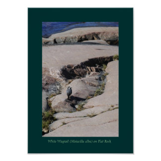 White Wagtail 03 Posters