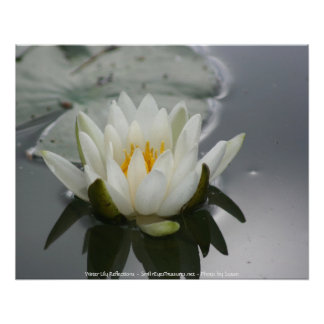 White Water Lily Flower Photography Poster Print