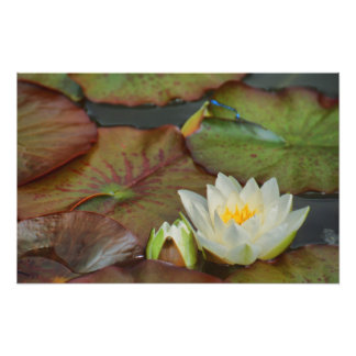 WHITE WATER LILY PHOTO PRINT