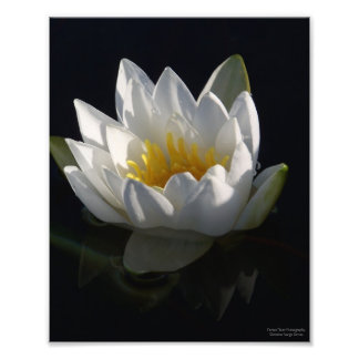 White Water Lily with Raindrops Photo Print