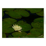 White Waterlily I Peaceful Floral Photography Card