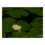 White Waterlily I Peaceful Floral Photography Poster