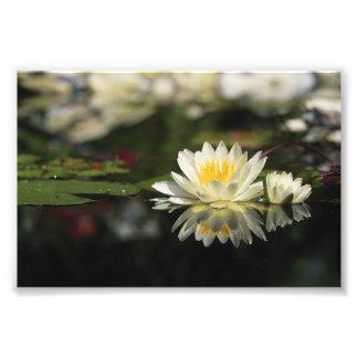 White Waterlily Photo Print