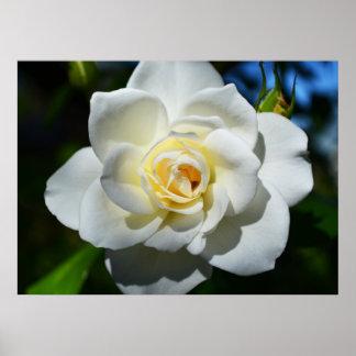 White Wedding Rose Poster