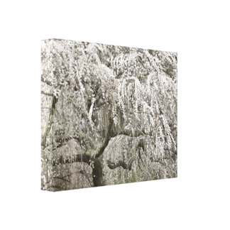 White Weeping Cherry Tree Blossom Photo Canvas Print