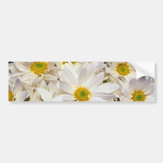 white White daisy chrysanthemums flowers Bumper Sticker