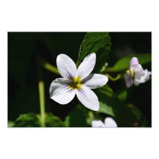White Wild Flower in the Sandia Mountains Photo