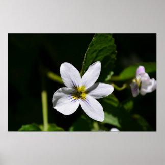 White Wild Flower in the Sandia Mountains poster