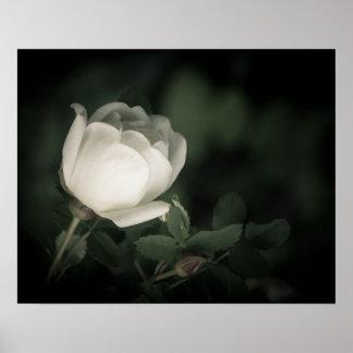 White Wild Rose on a Dark Background. Poster