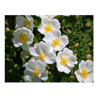 White Wild Roses Postcard