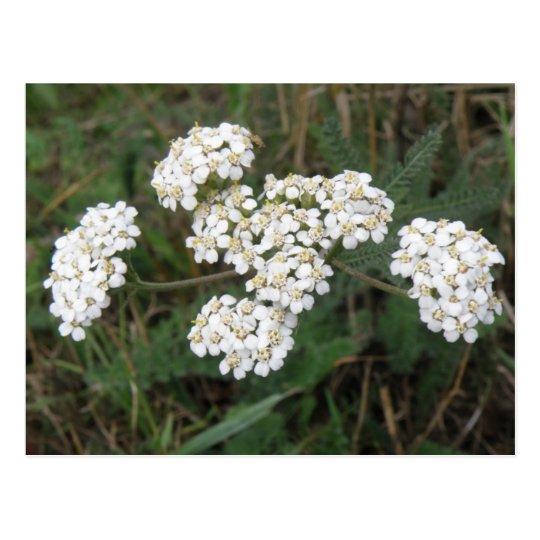 White wildflowers Postcard