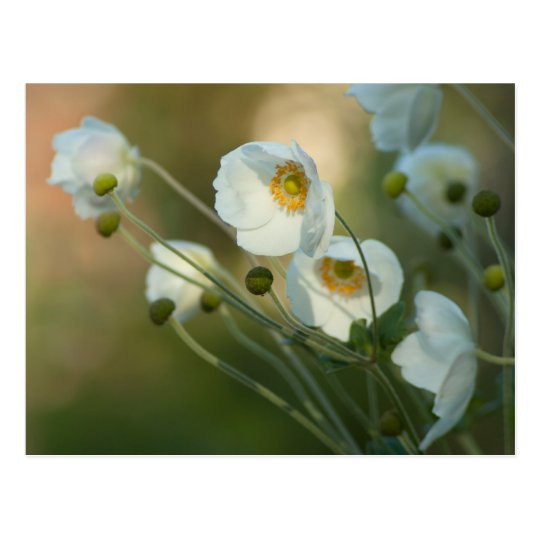 white windflowers in a natural display postcard