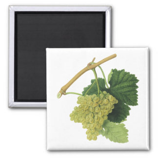 White Wine Grapes on the Vine, Vintage Food Fruit Magnet