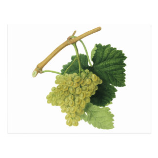 White Wine Grapes on the Vine, Vintage Food Fruit Postcard