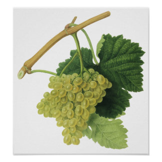 White Wine Grapes on the Vine, Vintage Food Fruit Poster