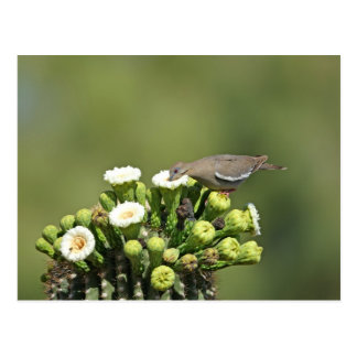 White-winged Dove Postcards
