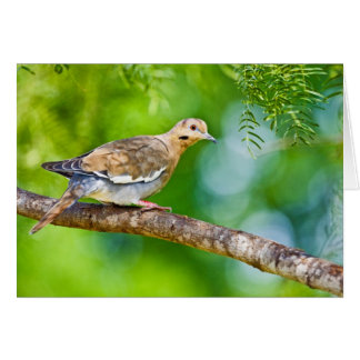 White-winged Dove Zenaida asiatica) adult, Card