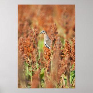 White-Winged Dove (Zenaida Asiatica) Perched Poster