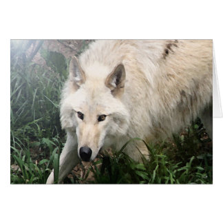 White Wolf Blank Greeting Cards