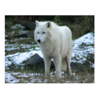 White Wolf in Winter Postcard