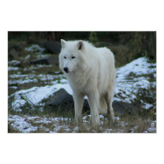 White Wolf in Winter Posters