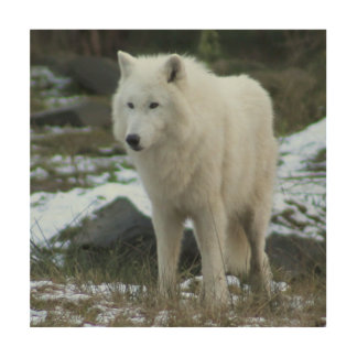 White Wolf in Winter Wood Print