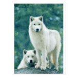 WHITE WOLF POST CARDS