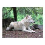 White Wolf Resting Postcard