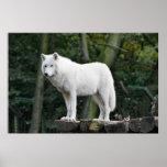 White Wolf salvaje Impresiones