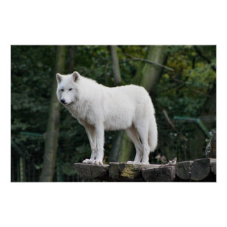 White Wolf salvaje Póster